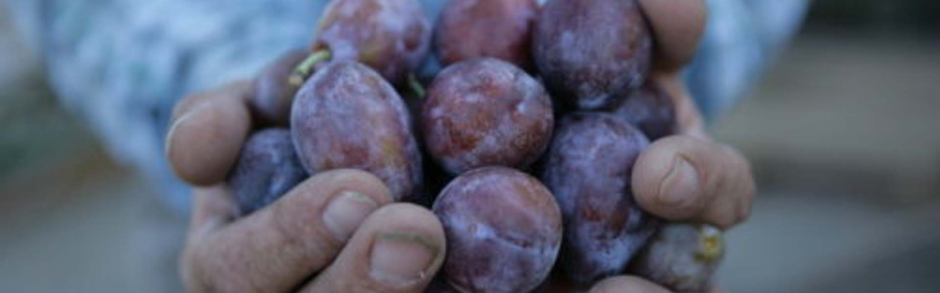 Farmer holding fresh, just-picked Sunsweet prune plums that can be used to make flavorful prune concentrates